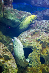 Yellow-edged moray eel (Gymnothorax flavimarginatus) underwater in the tropical coral reef