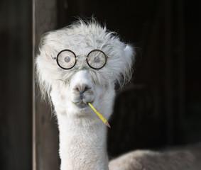 Genius alpaca with glasses and a pencil