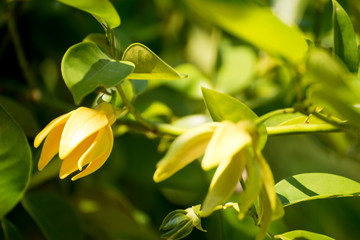 Ylang-ylang flower tree
