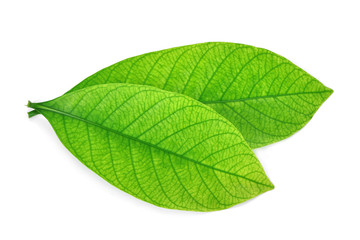 Wall Mural - close up of green leaf isolated on white background