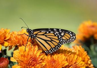 Monarch butterfly (Danaus plexippus) on orange Mum flowers during autumn migration. Natural green background with copy space.
