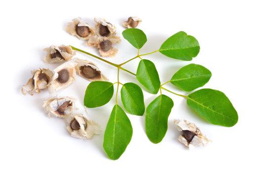 Moringa oleifera seeds with leawes. Isolated on white background.