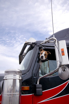 The fighting dog peeks out of the semi truck window protecting its territory from strangers