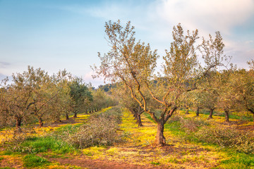 Rural landscape with olive grove during a sunny day in the spring, Croatia - Istria, Europe