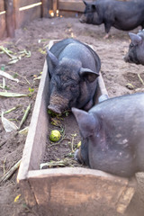 Black Vietnamese pigs on the farm