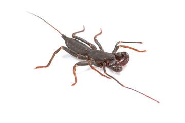 whip scorpion on white background