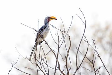 yellow beak hornbill