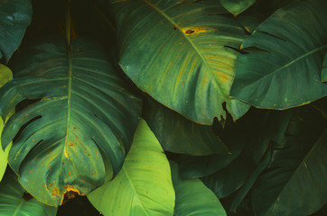 fresh gree leaf monstera growing in tropical forest
