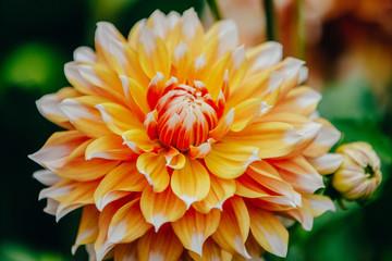 Flower, dahlia, close up