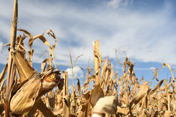 Corn in the Field at Harvest Time