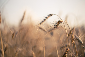 Toned image of wheat spikelets in field