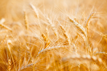 Photo of ripe rye field