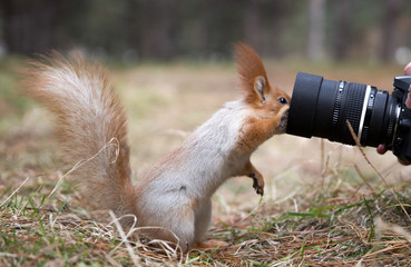 Cute squirrel plays with digital photo camera in summer, spring park