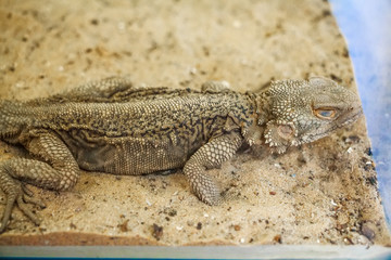 Central Bearded Dragon or Pogona vitticeps