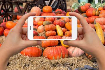 Woman take photo of big pile of pumpkins on a harvest festival by phone
