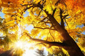Wall Mural - Baum mit strahlend gelben Herbstblättern bei Sonnenschein