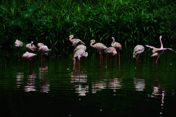 Flamingo bird in nature
