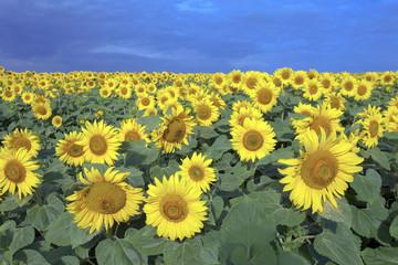 beautiful endless sunflower fields