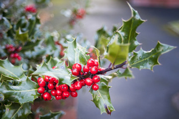 Branch of Holly Leaves and Berries