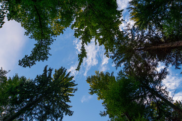 Black Forest Germany clearing with tall tree trunks and green leaves and blue sky