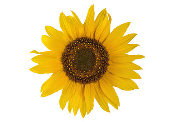 yellow beautiful sunflower flower on a white background