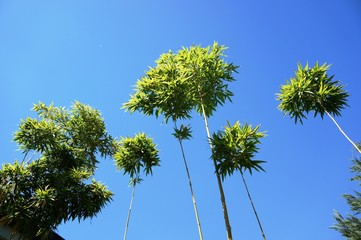 Bamboo plants against blue sky