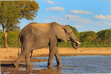 African Elephant at a waterhole in Makololo with a blue cloudy sky and bush veld background