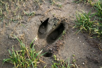Footprint of the wild boar on the ground. Slovakia
