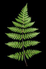 Fern leaf isolated on black background