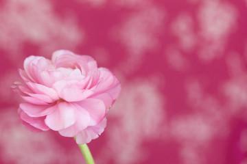 Closeup of single ranunculus flower bloom