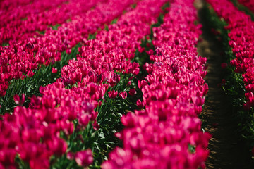 field of tulips on spring