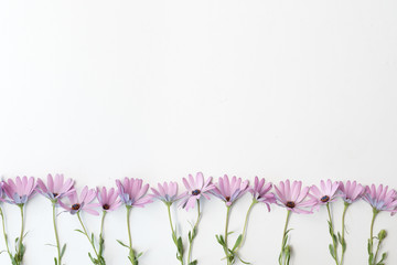 High angle view of soft purple daisies arranged in a row on white background with copy space at top