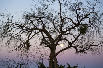 Tree, sunset and moon.