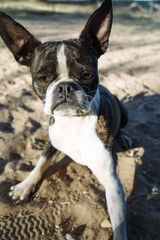 Bruce the Boston Terrier Pug at play.