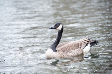 Canada goose swimming in a lake