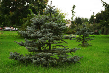 beautiful blue spruce