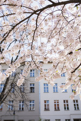 Cherry Blossom in the city