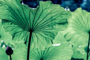 leaf vein on big green lotus leaves