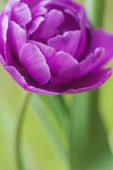 Purple tulip blossoming, close-up