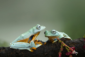 Tree frog, flying frog, Indonesia