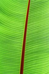 tropical banana leaf