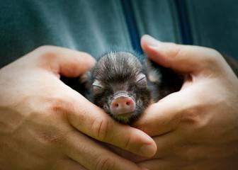 cute newborn cub of mini pig sleeping on human's hands