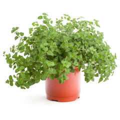 Fototapete - Oregano or marjoram herb growing in flowerpot  isolated on white background cutout