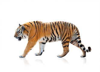 Fototapeten Tiger Bengal tiger walking, isolated over a white background