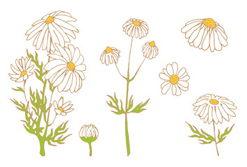 camomile hand drawn vector set
