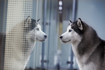 portrait of blue eyed siberian husky looking at own reflection