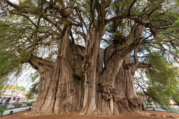 Tree of Tule in Mexico