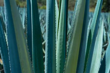 Pencas en el campo de agave.