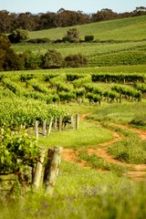 Winery vineyards featuring rows of contoured vines and grapes. Filmed Clare Valley, Australia