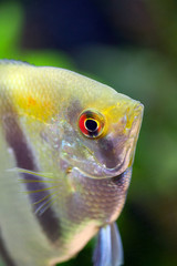 Red-eye Angelfish with silver and black and gold colors on blurred background, closeup, shallow DOF